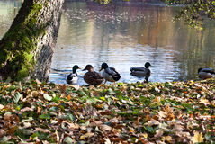 在池塘的鸭子有在银行的下落的叶子的在普劳恩市 免版税库存照片