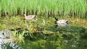 在池塘的鸭子有在水和秋季叶子漂浮的反射的