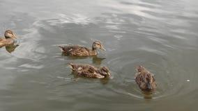 在池塘的鸭子,游泳在水中的鸭子 鸭子吃面包,游泳,追逐食物 4K 影视素材