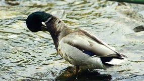 在池塘的鸭子洗涤 图库摄影