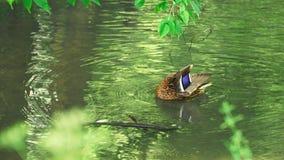 在池塘的鸭子 股票录像