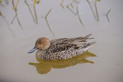 在池塘的鸭子 免版税图库摄影