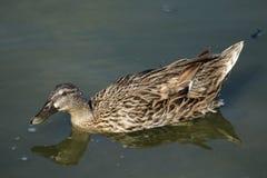 在池塘的鸭子 免版税库存照片