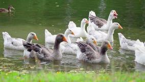 在池塘的鹅 影视素材