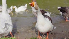 在池塘的鹅 股票录像