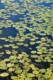 在池塘的绿色百合 免版税库存图片
