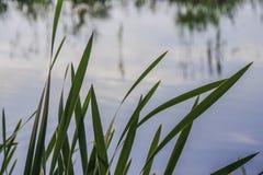 在池塘的绿色芦苇 免版税图库摄影
