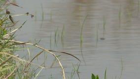 在池塘的蜻蜓 股票录像