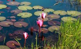 在池塘的Bloosom花 免版税库存图片