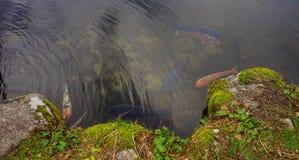 在池塘的Koi鱼 图库摄影
