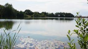 在池塘的Timelapse有荷花的 股票录像