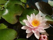 在池塘莲花的桃红色莲花 库存照片