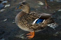 在池塘边缘的一只母野生野鸭鸭子 免版税库存图片