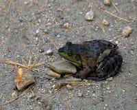 在池塘边缘的池蛙 库存照片