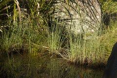 在池塘边缘的芦苇  库存图片
