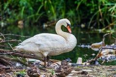 在池塘附近的天鹅。 免版税库存照片