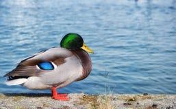 在池塘附近的德雷克 免版税库存照片