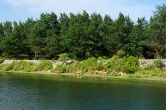 在池塘附近的母牛 免版税库存图片