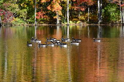 在池塘附近的秋天树有在水反射的加拿大鹅的 免版税库存图片