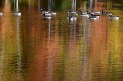 在池塘附近的秋天树有在水反射的加拿大鹅的 免版税库存照片