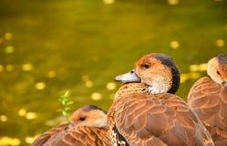 在池塘附近的自然布朗鸭子 图库摄影