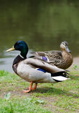 在池塘附近的野鸭 免版税库存图片