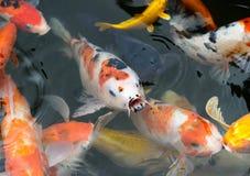 在池塘,日本全国动物钓鱼鲤鱼花梢鱼/koi 免版税库存图片