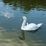 在池塘水的疣鼻天鹅  库存图片