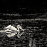 在池塘1的美国白色鹈鹕 免版税库存图片