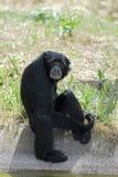 在池塘siamang附近的长臂猿 免版税库存图片