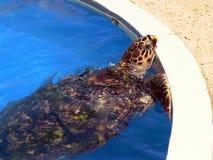 在池的乌龟 免版税库存照片