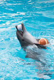 在池的海豚作用 库存图片