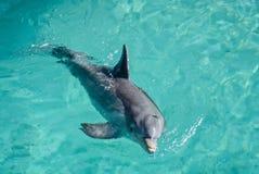 在池的海豚 库存照片
