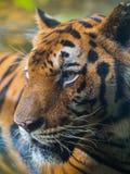在池的老虎 图库摄影