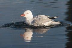 在池水的红开帐单的鸥清洁 库存图片