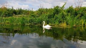 在汤顿和Bridgwater运河的天鹅 图库摄影