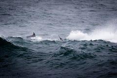 在汹涛的海豚 免版税图库摄影