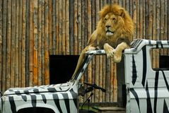 在汽车油漆斑马顶部的狮子动物园 免版税库存照片
