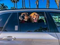 在汽车的两条狗 库存照片