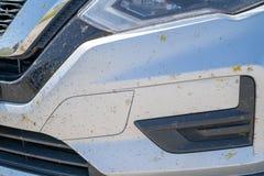 在汽车的前面喷溅的死的蝴蝶胆量,在被绘的夫人蝴蝶迁移时在春天期间  库存照片