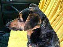 在汽车的后座的狗 免版税库存图片