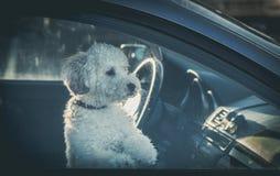 在汽车的哀伤的狗 免版税库存图片