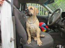 在汽车的小狗 免版税库存图片