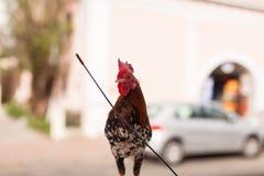 在汽车的屋顶的一只雄鸡 免版税库存照片