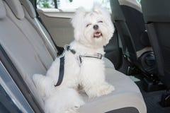 在汽车的狗保险柜 免版税库存图片