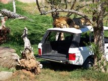在汽车的狮子 免版税库存照片