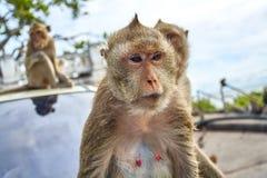 在汽车的猴子 免版税库存照片