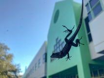 在汽车窗口的蜥蜴  库存图片