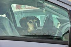 在汽车等待的达克斯猎犬狗 免版税库存照片