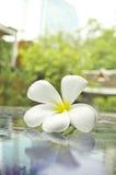 在汽车foof的白色赤素馨花flowwer 库存照片